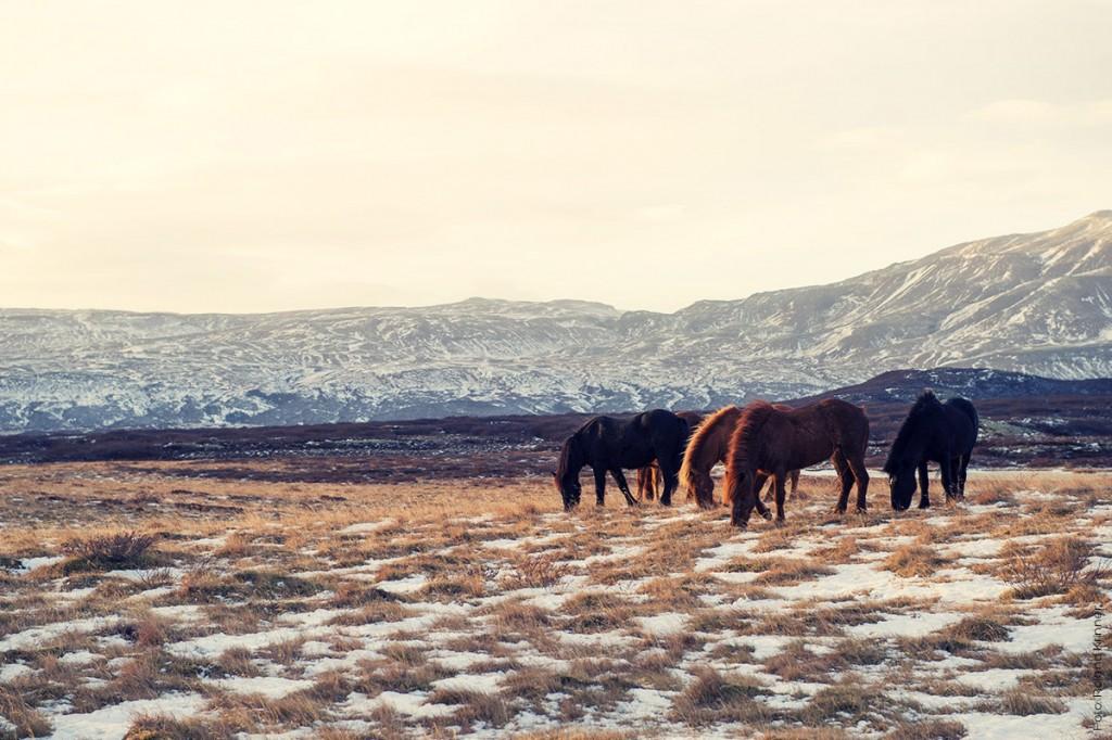 Island Pferde